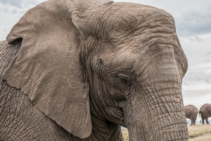 Endangered Elephant Trunk Skin Care African Big