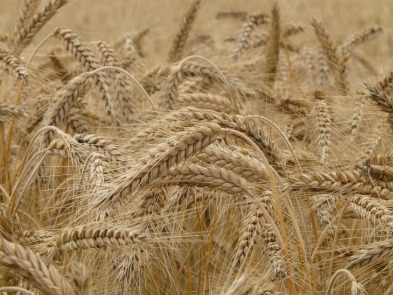 MaxPixel.freegreatpicture.com-Wheat-Spike-Cereals-Spike-Wheat-Field-Grain-Wheat-8762.jpg