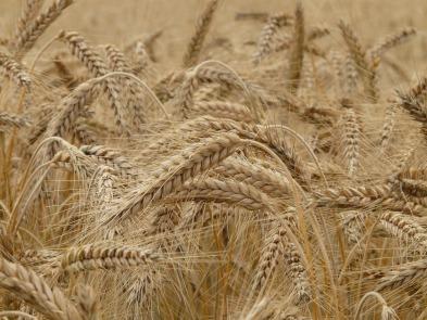 MaxPixel.freegreatpicture.com-Wheat-Spike-Cereals-Spike-Wheat-Field-Grain-Wheat-8762.jpg