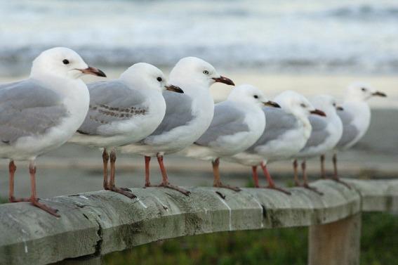 seagulls-591437_1280.jpg